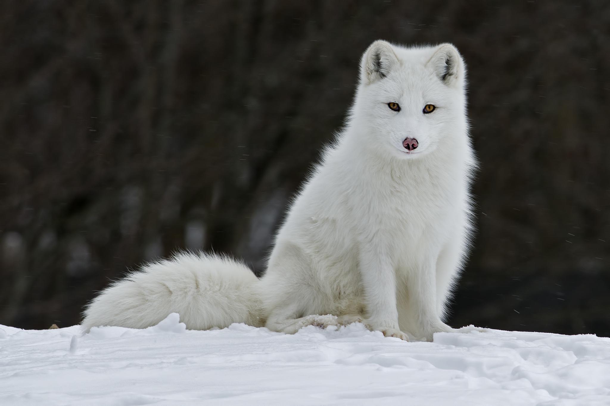 Детеныш арктического волка