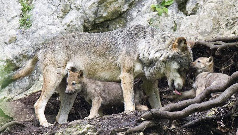 Мама волчица с детьми