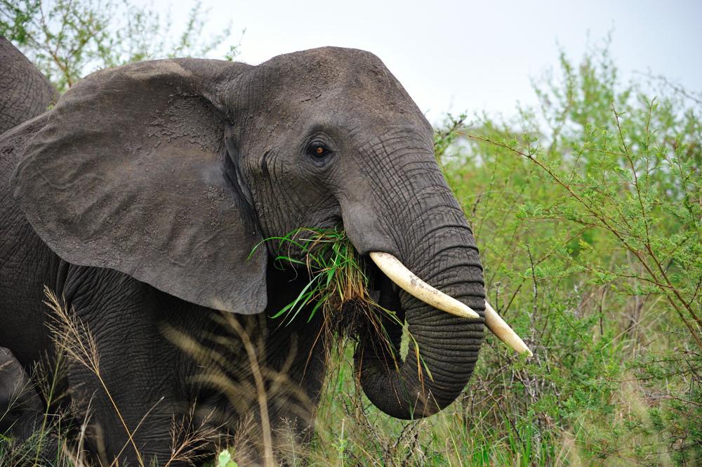 Слоновые млекопитающие