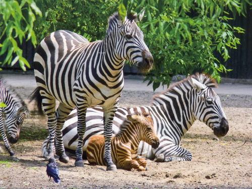 Содержание зебр в неволе