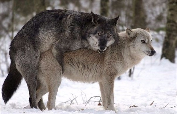 Спаривание волков