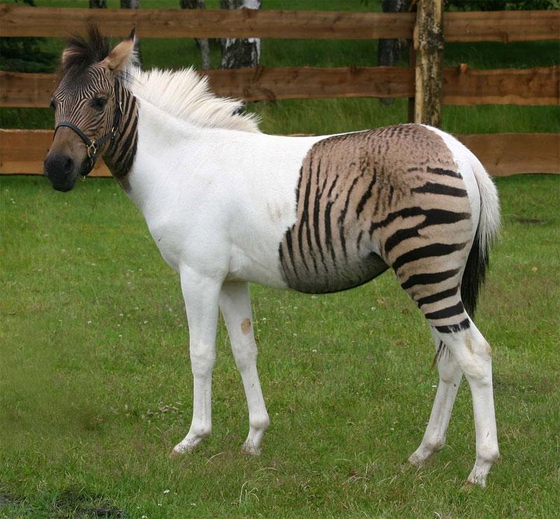 Гибриды зебры и домашней лошади или осла
