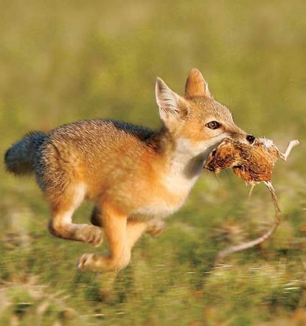 Чем питается лиса?
