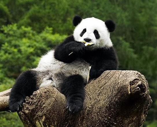 Беременная панда