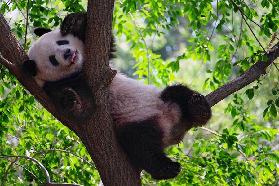 Где живет панда