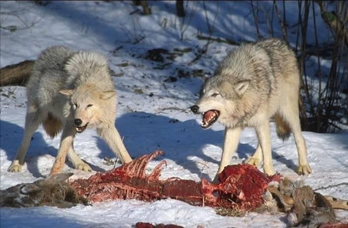 Волки на охоте