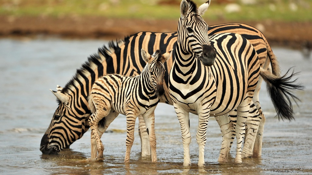Семья зебр