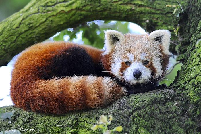 Малая или огненная панда