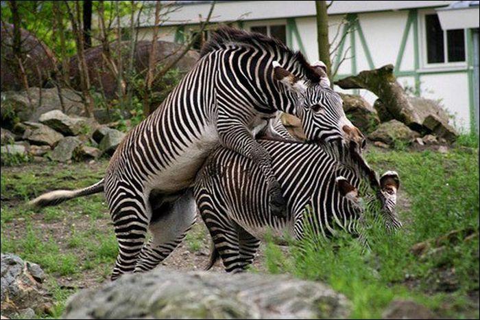 Спаривание зебр