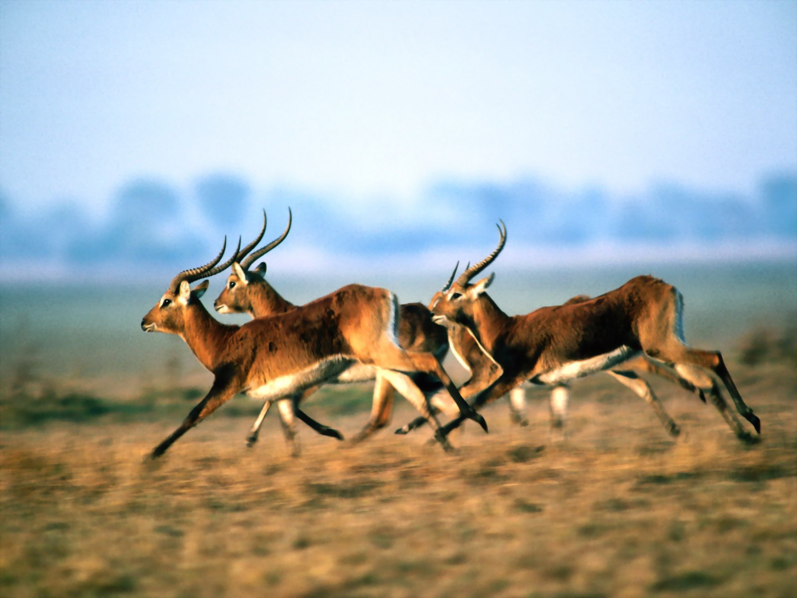 Образ жизни антилопы
