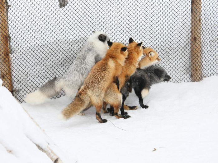 Спаривание лисиц