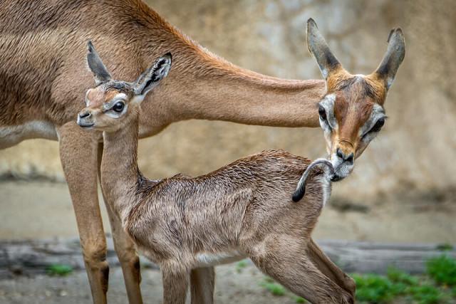Мама и детеныш антилопы