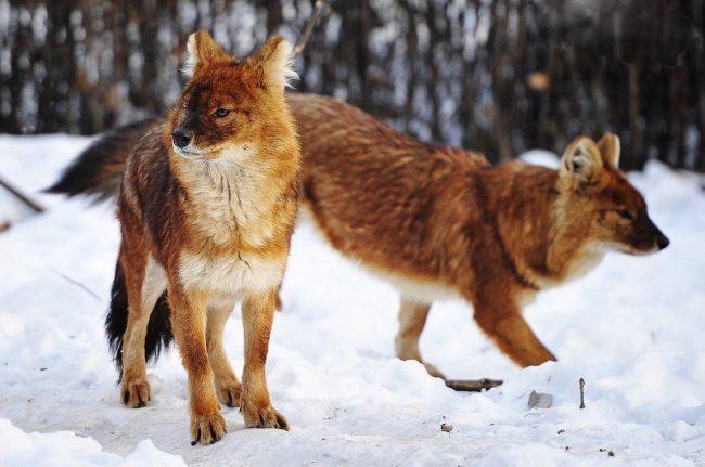 Стая расных или горных волков