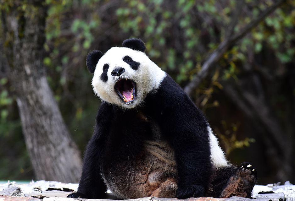 Сколько весит панда