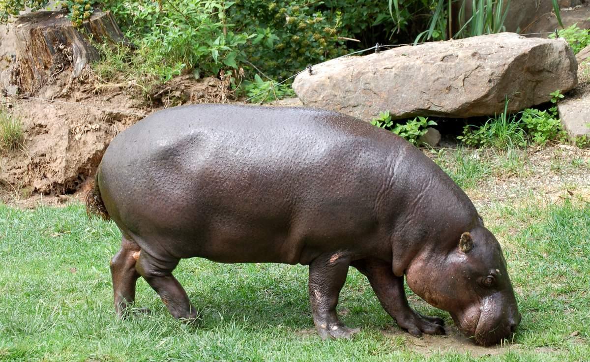 Сколько весят бегемоты?