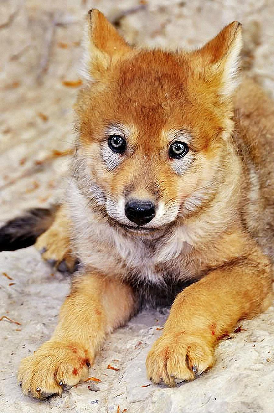 Голова красного или горного волка