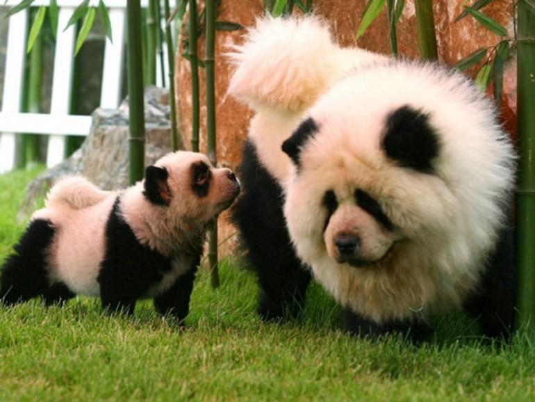 Панда и детеныш