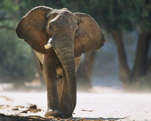 Слух слона