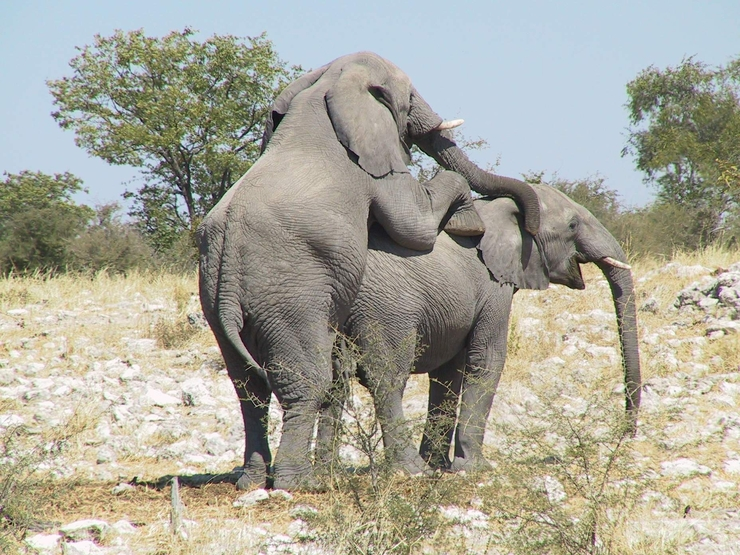 Спаривание слонов