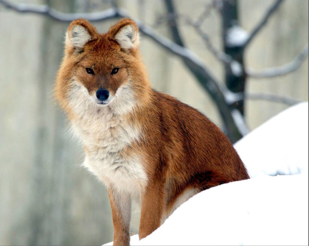 Красный или горный волк