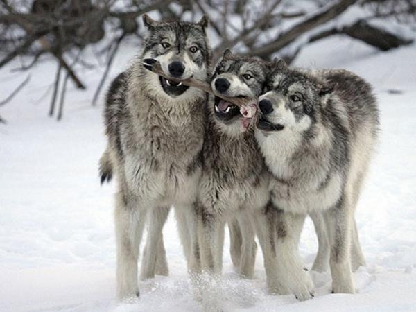 Волки после охоты
