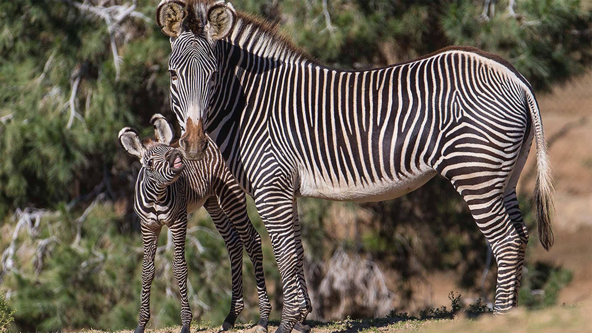 Саванная или бурчеллова зебра