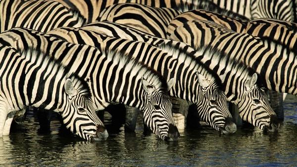 Что ест зебра