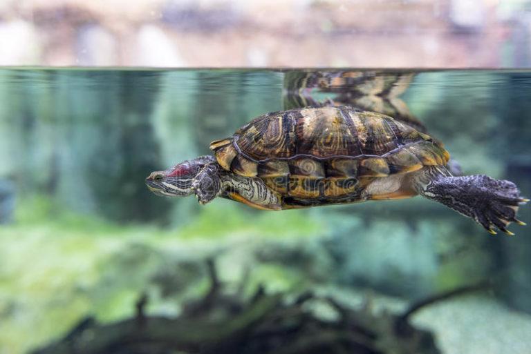 оплаченное время водные черепахи уход и содержание фото всего организовать небольшую