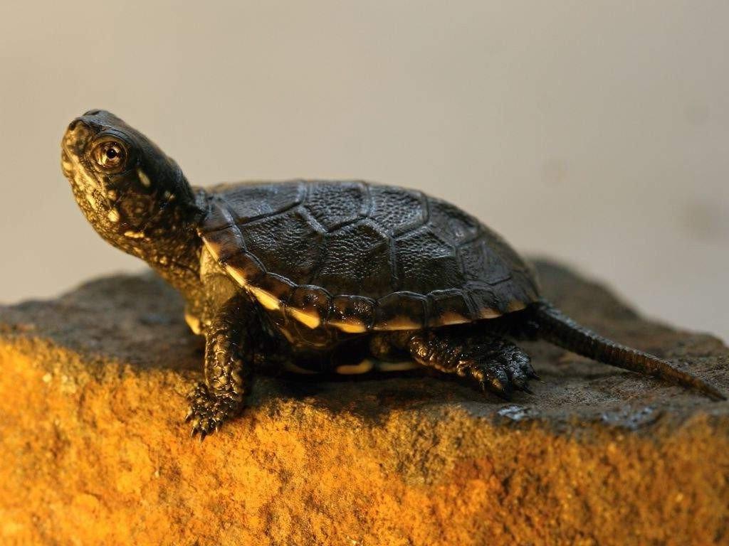 Хвост черепахи