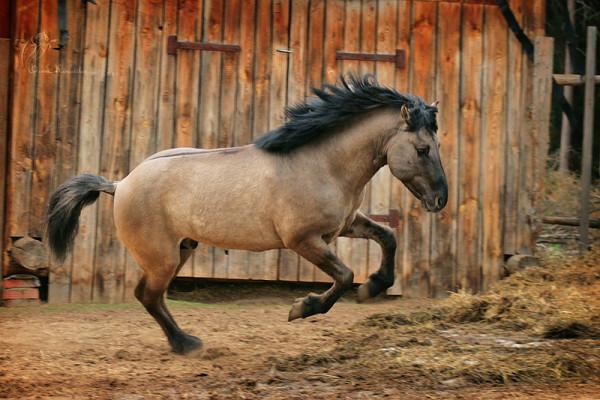 Башкирская порода коней
