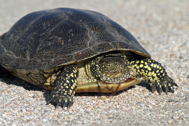 Болотная черепаха – описания