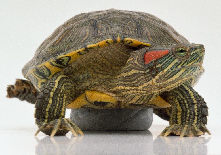 Лапы черепахи