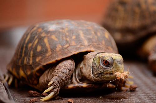 Чем питается сухопутная черепаха