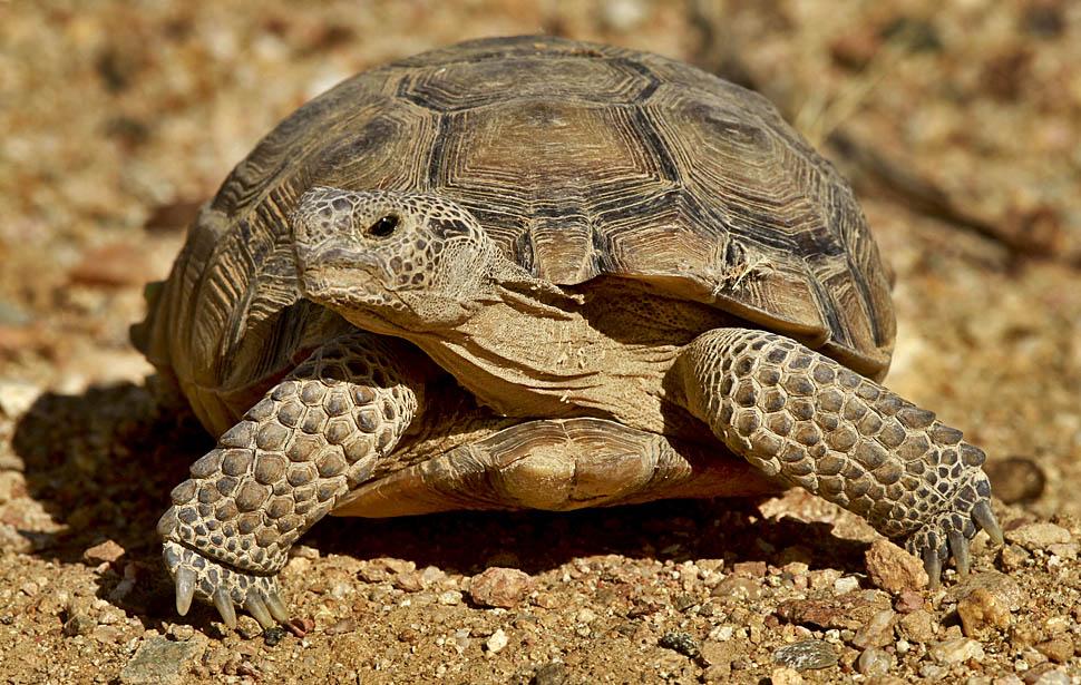 Крапчатая капская сухопутная черепаха