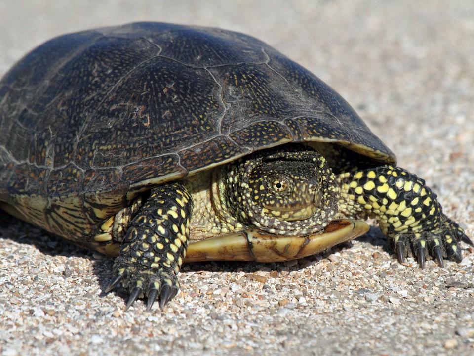 Европейская черепаха (болотная)