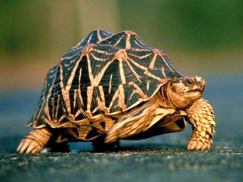 Разновидность черепах