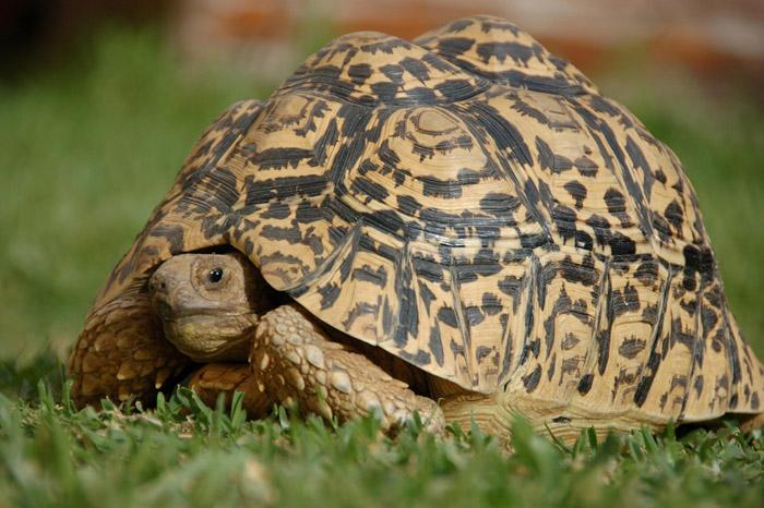 Сухопутная пантеровая черепаха