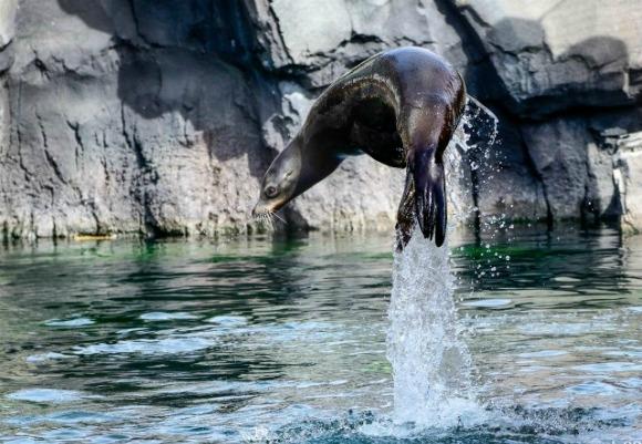 Морской лев на охоте за добычей