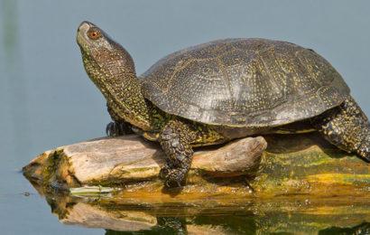 Болотная черепаха