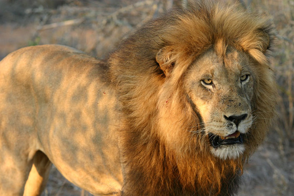 Ареал обитания льва