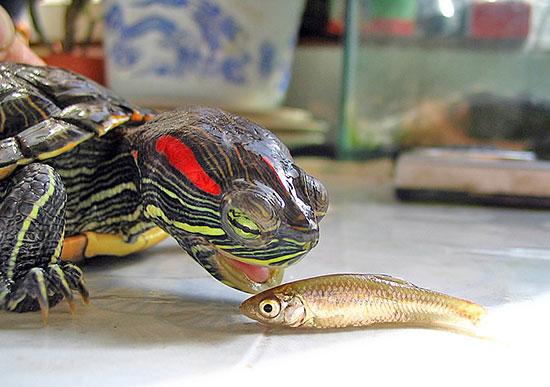 как красноухие черепахи занимаются сексом