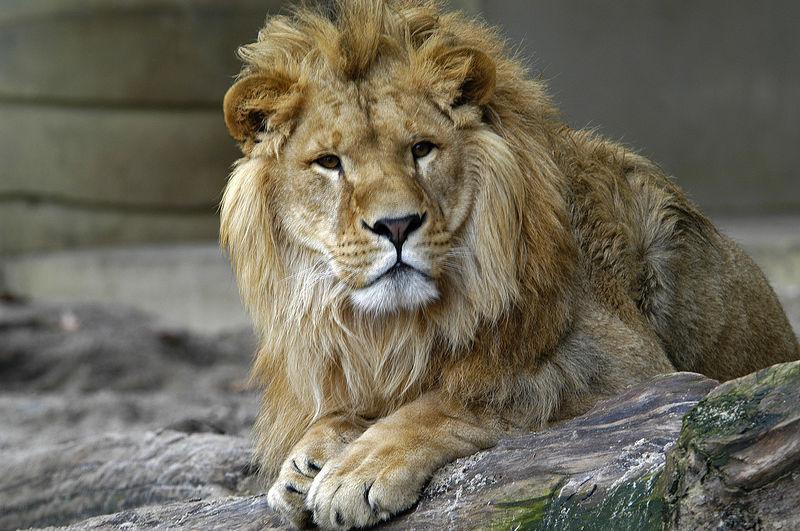Вес льва
