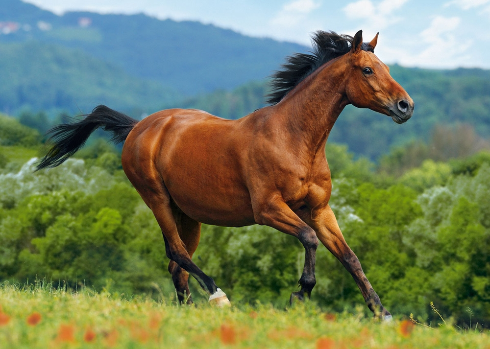 Тракененская лошадь