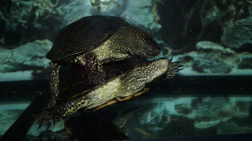 Размножение болотной черепахи в неволе