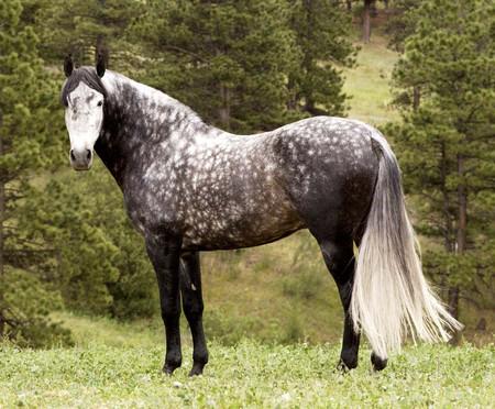 Тигровая лошадь