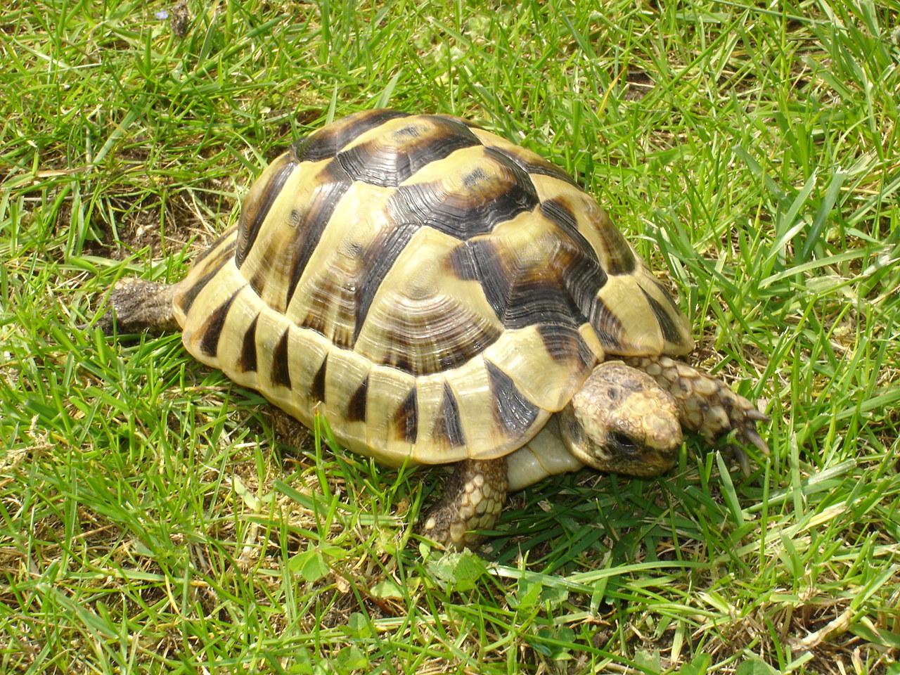 Сухопутная черепаха – описание