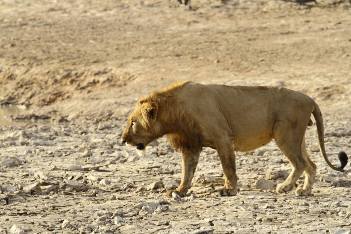 Сенегальский лев
