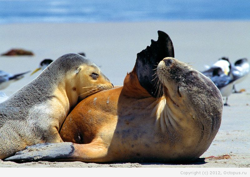 Мама и ребенок морского льва