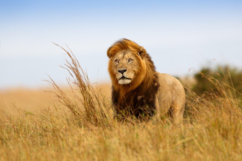 Описание льва