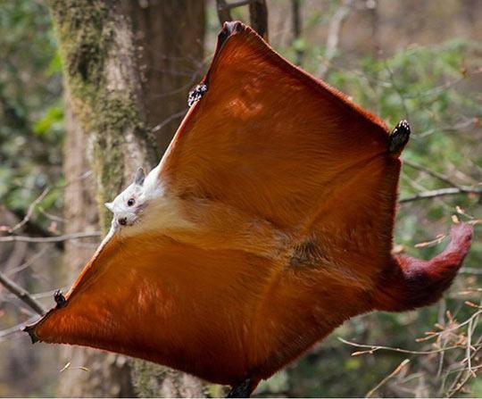 Белка летяга - где обитает, что ест, содержание, интересные факты